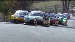 12 Ore di Bathurst 2020: canguri in pista durante le prove libere 2