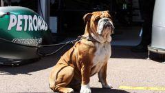 F1: Roscoe, il cane di Lewis Hamilton