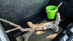 Un terrario per il drago barbuto nel MegaBox di Ford Puma