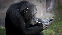 Volkswagen, Daimler e BMW: scimmie come cavie per gas di scarico