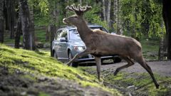 Volvo Animal Detection - Immagine: 3